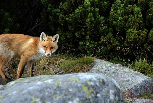 Das Fuchswesen